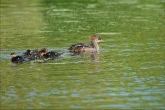 Med huva Merganser Hen And Ducklings Fotografering för Bildbyråer