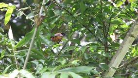 Med huva pitohui i den Varirata nationalparken, Papua Nya Guinea
