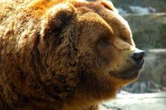 med textsidan upp björnbrownclose Royaltyfria Bilder