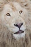 Med textsidan upp slut för Lion Royaltyfri Foto