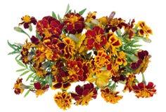 Medalhão isolado das flores do aç6frão Imagens de Stock Royalty Free