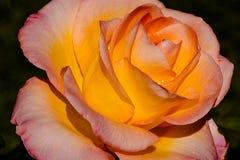 Medalla de oro Rose Glow Fotos de archivo