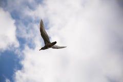 Medan havsfiskmås som flyger molnig himmel Royaltyfri Fotografi