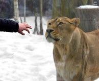 Meddela med lejoninnan till och med exponeringsglas royaltyfria bilder
