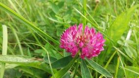 Medel för sicksackväxt av släktet TrifoliumTrifolium i en äng på den tidiga hösten Det är liknande till röd växt av släktet Trifo Royaltyfria Bilder