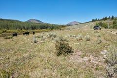 Medel som 4WD passerar betande bergnötkreatur Arkivbild