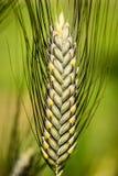 Medel stavad - triticumdicoccumen - poaceae royaltyfria foton