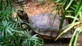 Medelformatsköldpadda Royaltyfria Bilder