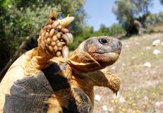 Medelhavs- allmänningsköldpadda Arkivfoto