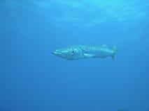 medelhavs- barracuda Arkivfoton