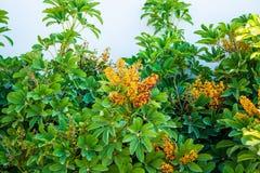 Medelhavs- buske arkivbilder