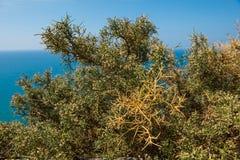 Medelhavs- buske, briar, tagg Arkivfoton