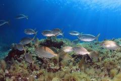 Medelhavs- fiskar Arkivfoto