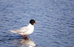 Medelhavs- fiskmås Fotografering för Bildbyråer