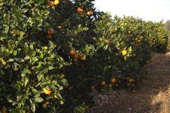 Medelhavs- jordbruk Arkivfoton