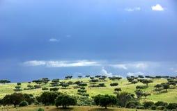 medelhavs- oaktrees för skog Royaltyfri Fotografi