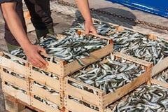 Medelhavs- sardines Fotografering för Bildbyråer