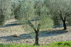 Medelhavs- sikt för olivträdfältkoloni Royaltyfri Fotografi