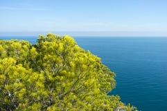 Medelhavs- sörja trees Arkivfoto