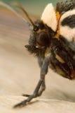 Medelhavs- Tiger Moth Arkivbild