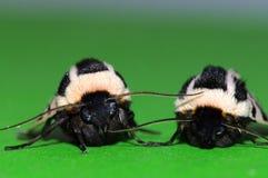 Medelhavs- Tiger Moths Arkivfoton