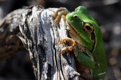 Medelhavs- trädgroda Royaltyfri Fotografi