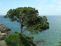 medelhavs- tree Royaltyfria Bilder