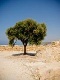 medelhavs- tree Fotografering för Bildbyråer