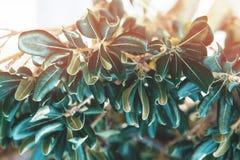 Medelhavs- vegetation på väggen Vintergrön buske med läderartade sidor royaltyfri bild