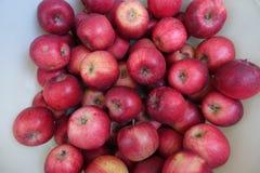 Medelstora mogna röda äpplen i höst arkivbild