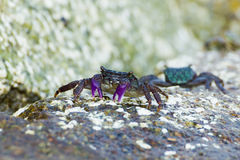 Meder mangrove crab Royalty Free Stock Photo