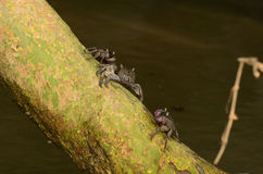 Meder's Mangrove crabs Stock Image