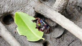Meder's mangrove crabs (Sesarma mederi) in mangrove forest stock video footage