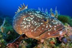 Medes wysp grouper Obraz Royalty Free