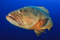 Medes wysp grouper w błękicie Zdjęcia Stock