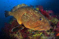 Medes wyspy grouper Fotografia Stock