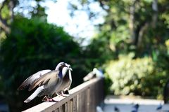 Media del piccione di pace immagine stock