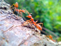 Ants Royalty Free Stock Photo