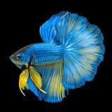 Media luna amarilla azul Betta o interruptor siamés de la cola larga de los pescados que lucha foto de archivo