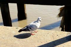 Media paloma blanco y negro Foto de archivo