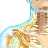 Media vista del sistema nervioso de garganta y de cabeza Imagen de archivo