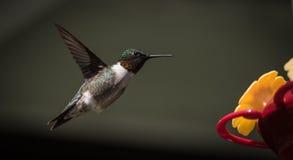 Mediados de colibrí del vuelo Fotografía de archivo libre de regalías