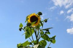 Mediados de verano Girasol Imagen de archivo libre de regalías
