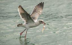 Mediados de vuelo de la gaviota que sostiene el ala de pollo Imágenes de archivo libres de regalías