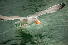 Mediados de vuelo de la gaviota que sostiene el ala de pollo Fotos de archivo libres de regalías