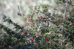 Mediados de-vuelo del colibrí que come el néctar de una flor roja Fotografía de archivo libre de regalías