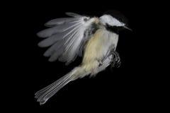 Mediados de-vuelo Negro-capsulado del Chickadee, aislado y congelada Imágenes de archivo libres de regalías