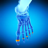 The medial joint capsules. Medically accurate illustration of the medial joint capsules Stock Photography