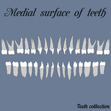 Medial surface of teeth. Incisor, canine, premolar, molar upper and lower jaw. Vector illustration for print or design of the dental clinic Stock Photo