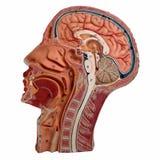 Median- avsnitt av det mänskliga huvudet som isoleras på vit royaltyfria foton